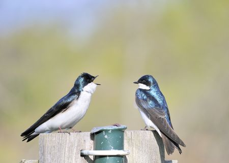 A pair of mating tree swallows perched on a nesting box singing to each other. photo