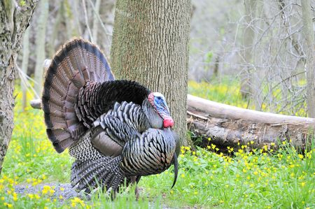 displaying: Strutting male wild turkey displaying in the spring mating season. Stock Photo
