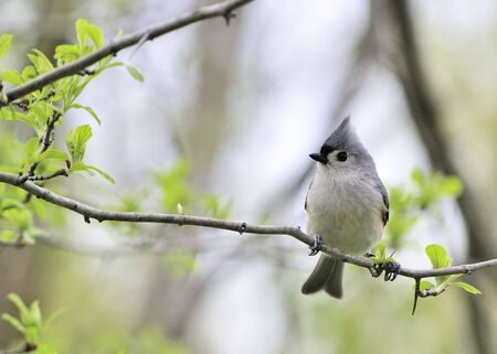A tufted titmouse perched on a tree branch. photo