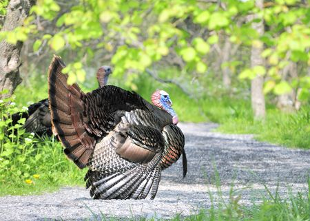 exhibiting: Strutting male wild turkey displaying in the spring mating season. Stock Photo