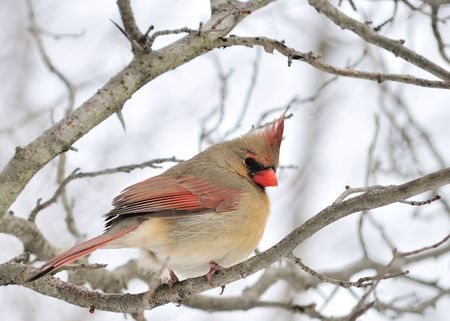 A female cardinal perched on a tree branch. photo
