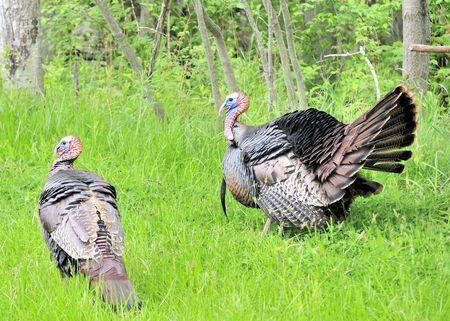 strut: Strutting male wild turkey displaying in the spring mating season. Stock Photo