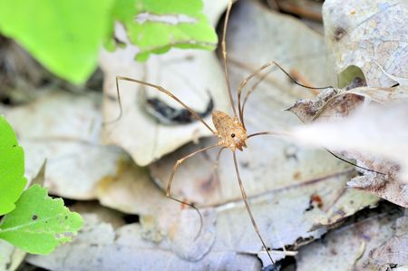 opiliones: A daddy longlegs perched on a plant leaf.Class: Arachnida  Order: Opiliones  Stock Photo