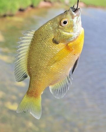 sunfish: A freshwater sunfish caught on a hook.