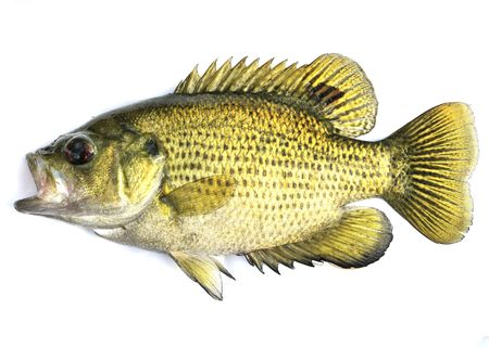 redeye: An image of a freshwater rock bass.