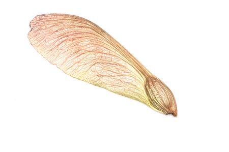 白い背景の上の単一のメープル種子。