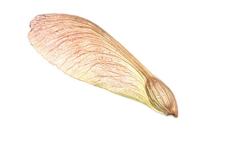 A single maple seed on a white background.