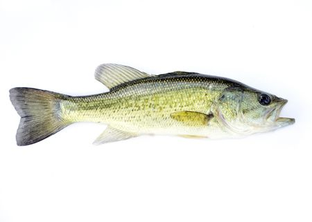 fingerling: A young fingerling fresh water largemouth bass.