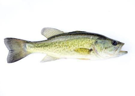 largemouth bass: Un bajo de Micropterus de agua dulce de j�venes fingerling.