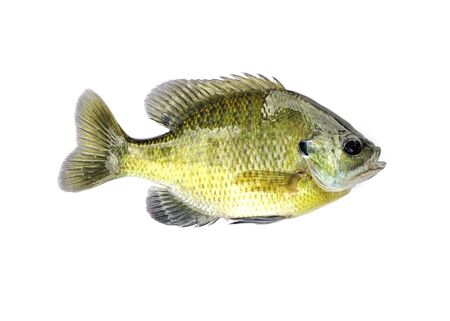 bluegill: A freshwater sunfish from a pond.