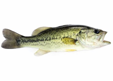 A young  fresh water largemouth bass. Stock Photo - 7141952