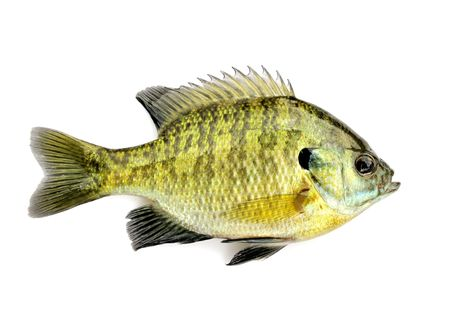 A freshwater sunfish from a pond. Stock Photo - 7141953