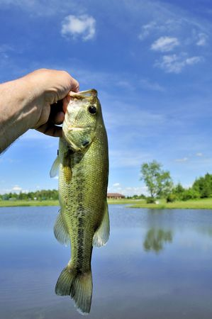 A largemouth freshwater bass caught on a small pond.