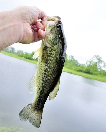 A young fresh water largemouth bass. Stock Photo - 7158033