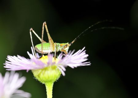 A kadydid nymph perched on a flower.