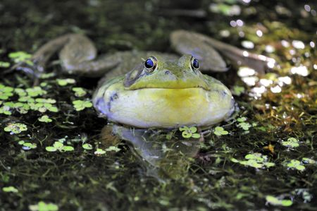 croaking: A bullfrog croaking a song in a swamp.