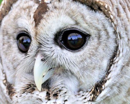 A close-up head shot of a barred owl.