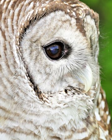 barred: A close-up head shot of a barred owl.