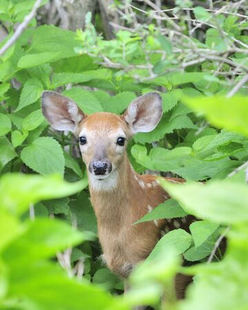 the thicket: A whitetail deer fawn standing in a thicket.