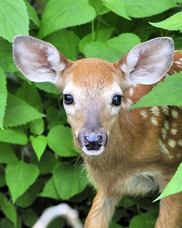 A whitetail deer fawn standing in a thicket