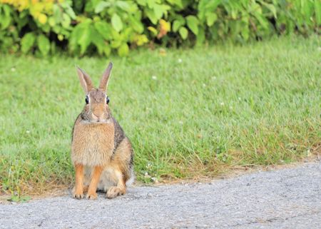 Cottontail rabbit sitting on the edge of the road. photo
