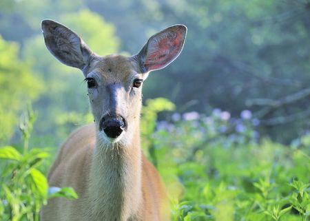 Whitetail deer doe avec les moustiques attaquant son visage.