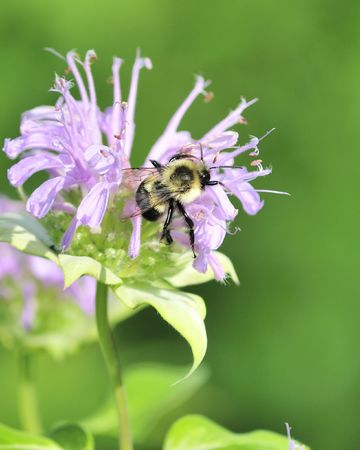bee on flower: A bumble bee perched on a plant flower.