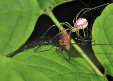 harvestman: A Comb-footed spider preparing a meal of a harvestman on a plant leaf.