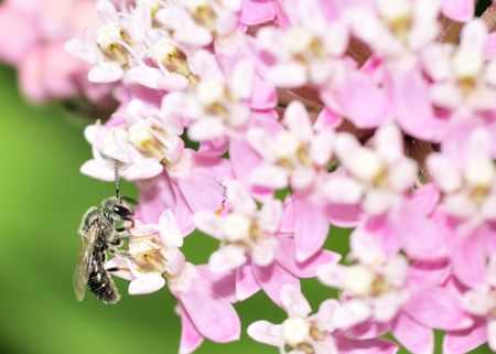 An Andrenid Bee perched on a pink flower collecting pollen.