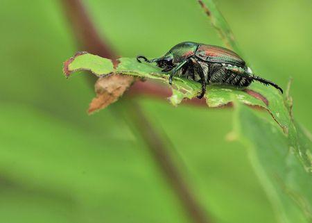 scarabaeidae: A Japanese Beetle perched on a plant leaf. Superfamily Scarabaeoidea  Family Scarabaeidae  Subfamily Rutelinae  Tribe Anomalini  Subtribe Popilliin Stock Photo