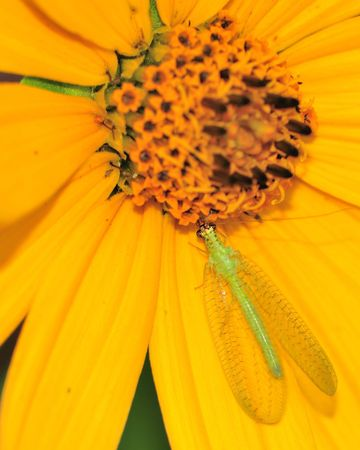 A green lacewing perched on a yellow flower.