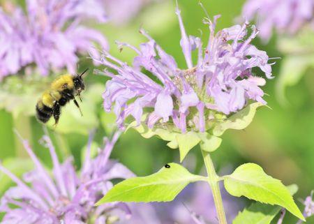 bee on flower: A bumble bee in flight beside a flower.