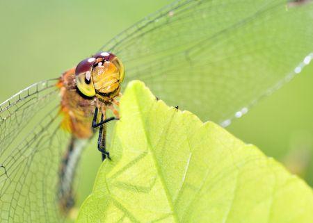 A close-up macro shot of a female Ruby Meadowhawk. photo