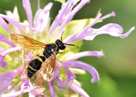 A wasp perched on a purple flower.