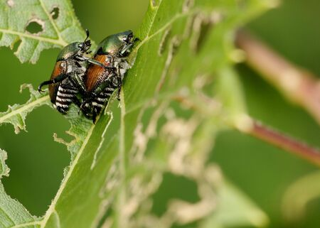 scarabaeidae: A pair of Japanese Beetle perched on a plant leaf mating. Superfamily Scarabaeoidea  Family Scarabaeidae  Subfamily Rutelinae  Tribe Anomalini  Subtribe Popilliin Stock Photo