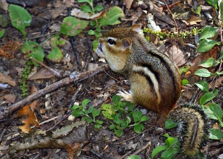 An eastern chipmunk collecting nuts in the woods.