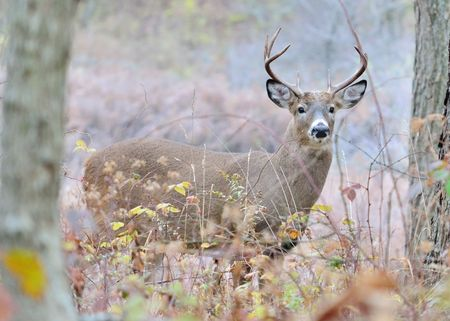 Whitetail deer buck standing in the woods in the rutting season. Stock Photo - 8152899