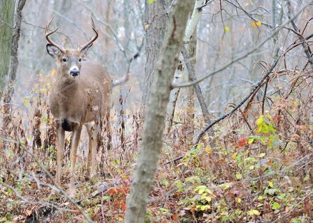 Whitetail deer Buck standing in the woods in the rutting season. photo