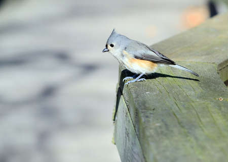 A tufted titmouse perched on a fence. photo