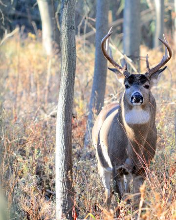 A whitetail deer buck standing in the woods in the rutting season.