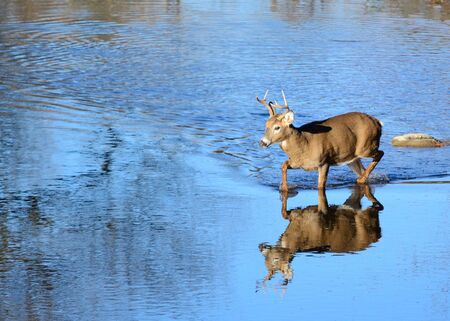 buck: A whitetail deer buck wading in a stream.