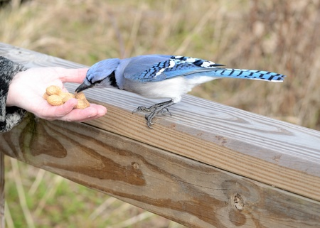 A blue jay perched on fence eating a peanut from a hand. Stock Photo
