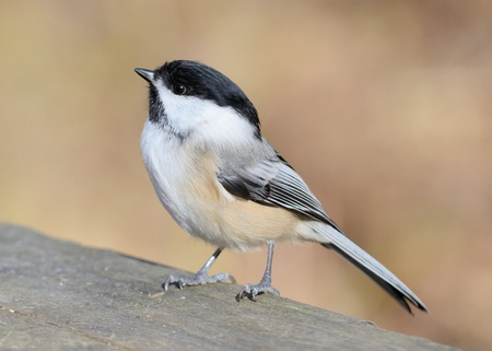 A black-capped chickadee perched on a wooden fence.