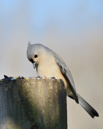 A tufted titmouse perched on a post with bird seed. Stock Photo