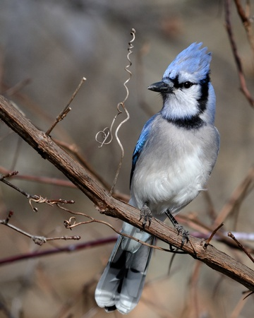 A blue jay perched on a tree branch. photo