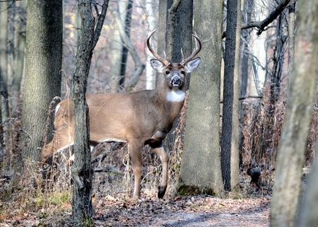 A whitetail deer buck standing in the woods in the rutting season. Stock Photo - 8289732