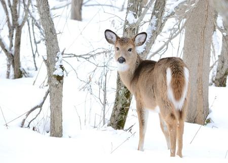 Whitetail Deer Yearling Stock Photo