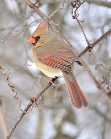 female cardinal: Female Cardinal