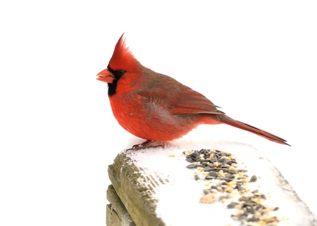 A male cardinal perched on a fence.