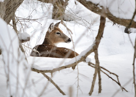 Whitetail deer doe bedded in the woods in winter snow. photo